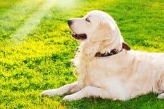 Perro perdiguero de oro en el parque imagen de archivo libre de regalías
