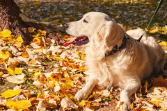 Perro perdiguero de oro en el parque imágenes de archivo libres de regalías