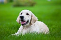 Perro perdiguero de oro en la hierba verde Imágenes de archivo libres de regalías