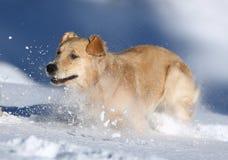 Perro perdiguero de oro en la nieve Imagen de archivo libre de regalías
