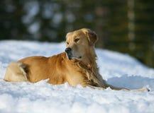 Perro perdiguero de oro en la nieve Fotos de archivo libres de regalías
