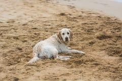 Perro perdiguero de oro en la playa Fotografía de archivo