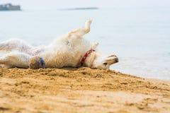 Perro perdiguero de oro en la playa Fotografía de archivo libre de regalías