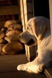 Perro perdiguero de oro en puesta del sol Foto de archivo