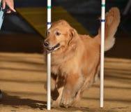 Perro perdiguero de oro en un ensayo de la agilidad del perro Imágenes de archivo libres de regalías