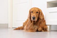 Perro perdiguero de oro encantador Fotos de archivo libres de regalías