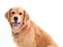 Perro perdiguero de oro feliz imagenes de archivo