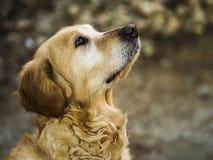 Perro perdiguero de oro hermoso Fotografía de archivo libre de regalías