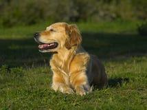 Perro perdiguero de oro interesado en algo Fotos de archivo