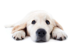 Perro perdiguero de oro joven que miente con las patas estiradas