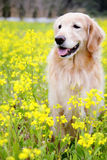 Perro perdiguero de oro lindo en el mar hermoso de la flor Foto de archivo