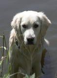 Perro perdiguero de oro mojado Imagenes de archivo