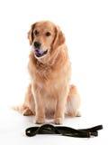 Perro perdiguero de oro que espera imagenes de archivo
