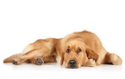 Perro perdiguero de oro que miente en el suelo Imagen de archivo libre de regalías