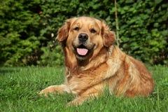 Perro perdiguero de oro que miente en hierba Fotos de archivo libres de regalías