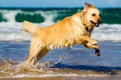 Perro perdiguero de oro que salta en el agua Imagenes de archivo