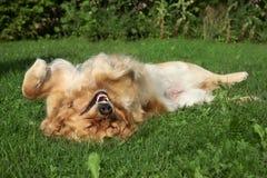 Perro perdiguero de oro que se reclina sobre hierba Foto de archivo libre de regalías