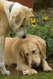 Perro perdiguero de oro y amigo Fotos de archivo