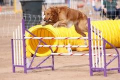 Perro perdiguero del oro que salta un obstáculo Imagen de archivo libre de regalías