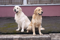 Perro perdiguero dos que se sienta allí Imagen de archivo