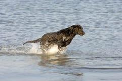 Perro perdiguero en agua Imagenes de archivo