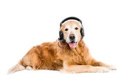 Perro perdiguero en auriculares Imágenes de archivo libres de regalías
