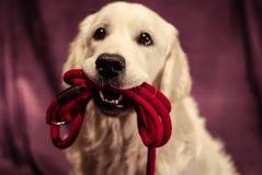 Perro perdiguero listo para los walkies Foto de archivo