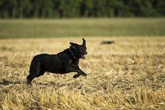Perro perdiguero negro Imagen de archivo