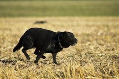 Perro perdiguero negro Imagen de archivo libre de regalías