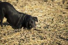 Perro perdiguero negro Foto de archivo