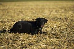 Perro perdiguero negro Fotos de archivo