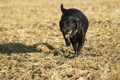 Perro perdiguero negro Fotografía de archivo