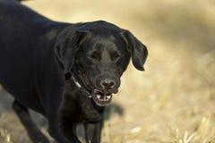 Perro perdiguero negro Foto de archivo libre de regalías