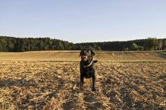 Perro perdiguero negro Fotos de archivo libres de regalías