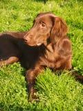 perro perdiguero Plano-revestido foto de archivo libre de regalías
