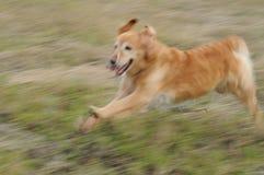 Perro perdiguero que se ejecuta con baba Fotos de archivo libres de regalías