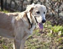 Perro perdiguero revestido plano rubio Imágenes de archivo libres de regalías