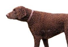 Perro perdiguero revestido rizado Fotografía de archivo
