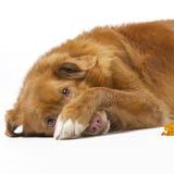 Perro perdiguero tocante Shaming del pato del scotia del novia Imágenes de archivo libres de regalías
