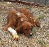 Perro perezoso de los huesos Foto de archivo