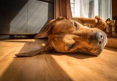 Perro perezoso en Sun foto de archivo