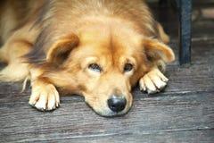 Perro perezoso que espera en la puerta principal imágenes de archivo libres de regalías