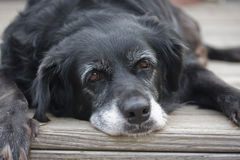 Perro perezoso viejo fotografía de archivo libre de regalías