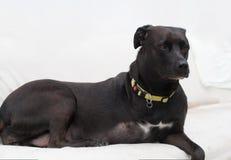 Perro perjudicado Fotos de archivo libres de regalías
