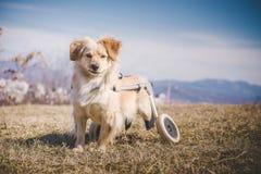 Perro perjudicado con la silla de ruedas Foto de archivo libre de regalías
