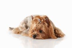 Perro Perrito de Yorkie en el fondo blanco de la pendiente Imagenes de archivo