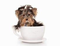 Perro Perrito de Yorkie en el fondo blanco de la pendiente Imágenes de archivo libres de regalías
