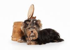Perro Perrito de Yorkie en el fondo blanco de la pendiente fotografía de archivo libre de regalías