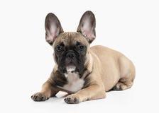 Perro Perrito del dogo francés en el fondo blanco Fotos de archivo libres de regalías