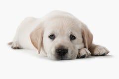 Perro - perrito del perro perdiguero de oro foto de archivo